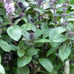 Thai purple basil