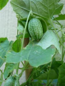 sour gherkin cucumber